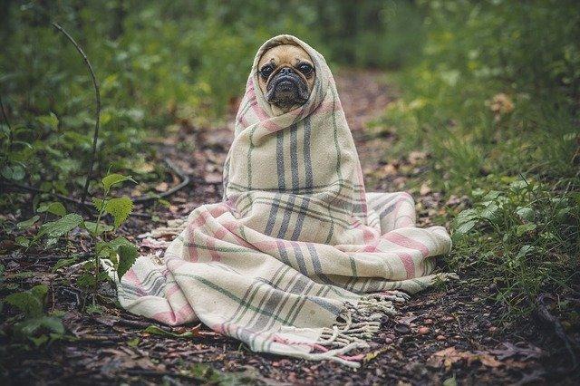 cute pug in a blanket